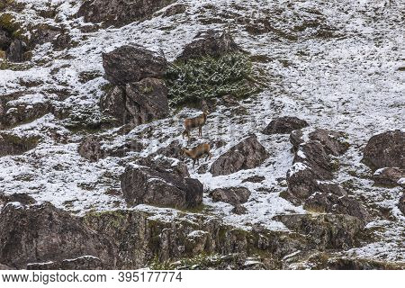 A Couple Of Chamois Look For Food On One Of The Slopes Of The Mountains In The Aguas Tuertas Valley,