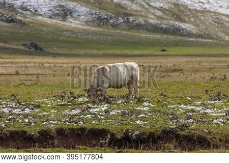 A Cow Eating Grass In The Pastures Of Aguas Tuertas Valley, Hecho And Anso, Huesca, Spain. Aragonese