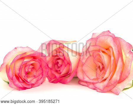 Close Up Of Three Pink Roses Isolate On White. Pink Fresh Roses. Rose Isolate On White. Selective Fo