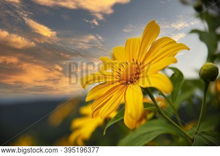 Tung Bua Tong Mexican Sunflower Under Blue Sky