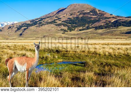 Guanaco is a cloven-hoofed mammal from the family of camelids, a genus of llamas. Argentina, Patagonia. Pampas of South America