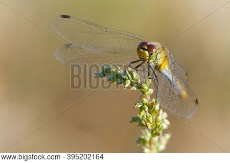 Dragonfly On Spike, Macro. Dragonfly Sitting On A Blade Of Grass, Closeup. Dragonfly In Evening