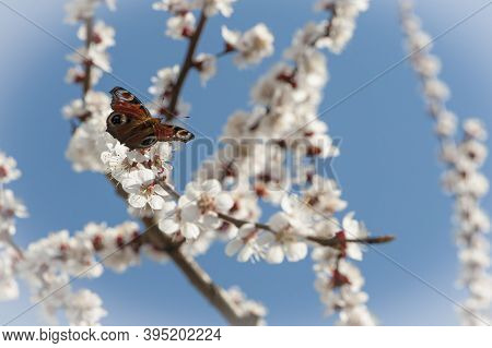Butterfly Sitting On Cherry Branch With White Flowers. Spring Blooming Tree Background. Nature Backd