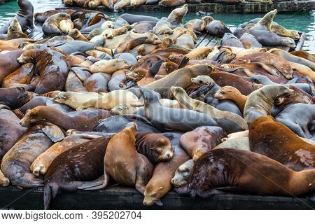 Pier 39 in San Francisco. Fisherman's Wharf on the San Francisco Bay. Hundreds of sea lions lie on wooden platforms, pose, sleep, growl and fight. Popular tourist destination in USA