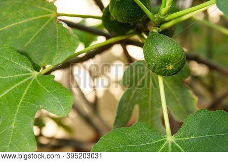 Young Ripening Fig Fruit On A Branch. Stem With Green Figs. Fig Fruit Growth. Ripening Stage Of Figs
