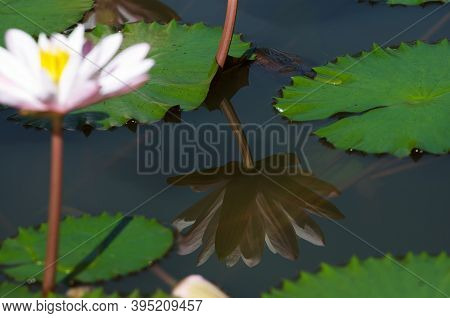 The Beautiful White Lotus Flower Or Water Lily Reflection With The Water In The Pond.the Reflection