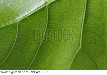Detail Of The Backlit Texture And Pattern Of A Fig Leaf Plant, The Veins Form Similar Structure To A