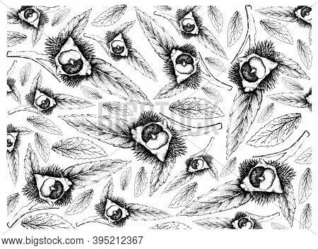 Illustration Wall-paper Of Hand Drawn Sketch Of Japanese Chestnuts, Korean Chestnut Or Castanea Cren