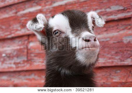 Goat Kid III