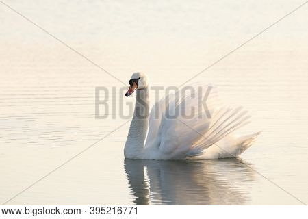 Swan lake Nature sunrise sun sunset morning pet Nature background pet Nature background pet Nature pet Nature background beautiful Nature water pond dusk Nature pet romantic Nature background pet swans Nature background pet Nature background.