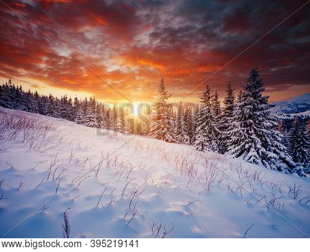 Scenic image of spruces tree in frosty evening. Location place Carpathian mountains, Ukraine, Europe. Wintry wallpapers. Christmas holiday concept. Happy New Year! Discover the beauty of earth.