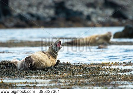 Tired Harbor Seal Yawning On A Sea Beach With Copy Space