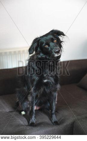 Beautiful Black Dog Elegantly Sitting On The Sofa At Home. Border Collie Mix Dog.