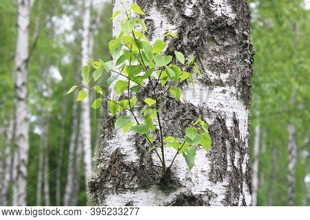Young Birch With Black And White Birch Bark In Spring In Birch Grove Against The Background Of Other