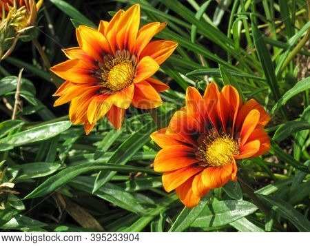 Close Up Of Gazania  Flower In Summer. Gazania In Garden With Green Leafes Background.