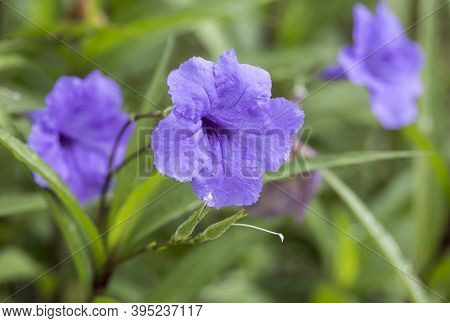 Ruellia Simplex Commonly Known As Mexican Petunia, Mexican Bluebell Or Britton's Wild Petunia, Is A