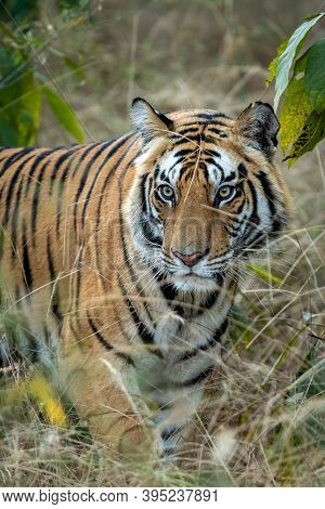Wild Male Tiger Head On At Magdhi Zone Of Bandhavgarh National Park Or Tiger Reserve Madhya Pradesh