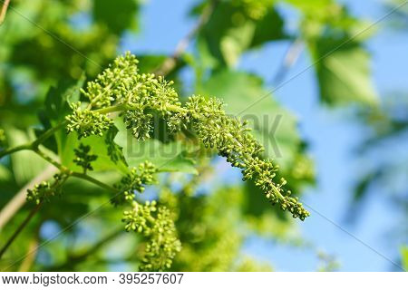 Young Ovary Of Grapes. Fresh Spring Greens Against A Blue Sky. Sunlight
