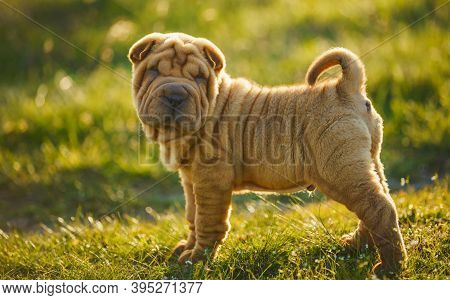 Shar Pei Puppy Standing On The Lawn