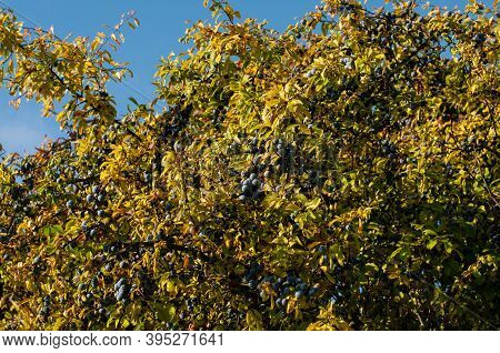 Sloes On A Blackthorn Shrub In Morning Sunlight After A Rainy Night