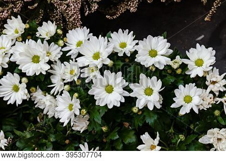 Beautiful White Chrysanthemums In Green Leaves. Garden Plant. Close Up