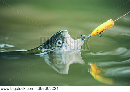 Holding Brown Trout. Fishing In River. Fish On The Hook. Fishing With Spinning Reel. Sport Fishing