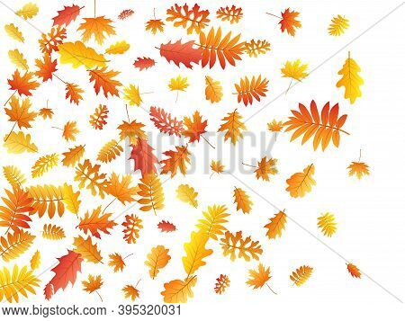 Oak, Maple, Wild Ash Rowan Leaves Vector, Autumn Foliage On White Background. Red Orange Gold Ash An