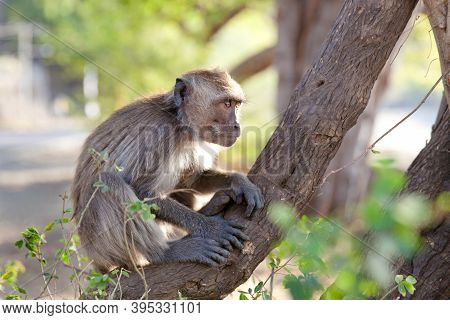 Monkey Sitting In A Tree. Monkey On The Streets Of Bali.