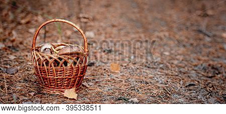Wicker basket full of edible mushrooms