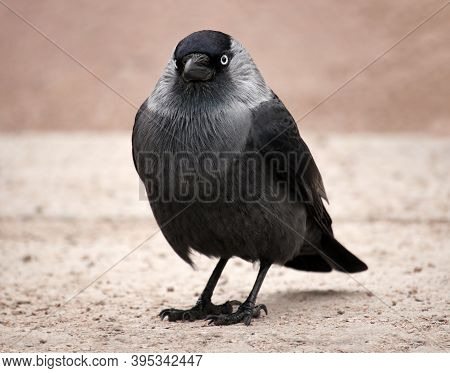 The Eastern Eurasian Jackdaw (coloeus Monedula) Against Urban Environment Background With Space For