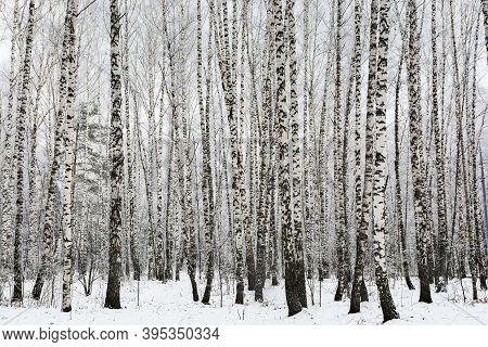 Trunks Of Tall Slender Birches In The Winter Forest. Birch Grove On A Frosty Winter Day.