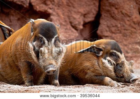Red River Hog, Potamochoerus Porcus Pictus