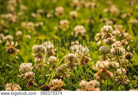 Trifolium Pratense, The White Clover In The Meadow. White-flowered Clover And Poa Annua, Or Annual M