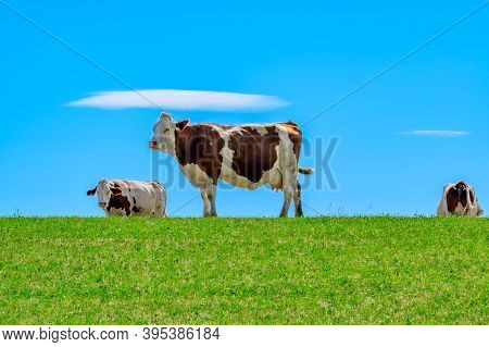 Producing Of Wheels Of Comte Cheese In Lower Jura, France, Montbeliards Or French Simmental Cows Her