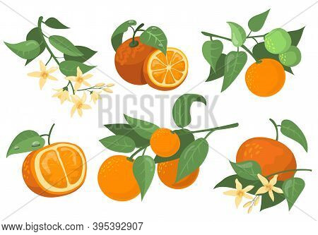 Colorful Orange Branches And Flowers Flat Item Set. Cartoon Drawing Orange, Tangerine And Mandarin I