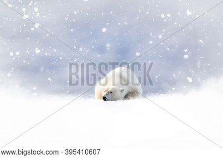 Fantasy scene of a polar bear resting in the snow. Snow is falling on a soft, blue background, and there is space for the addition of seasonal text. Suitable for use in Christmas projects.