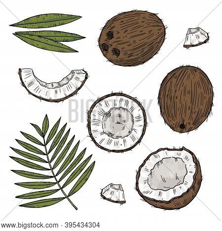 Set Of Ripe Coconut In Different Forms With Palm Leaves. Color Drawing Isolated On A Black Backgroun