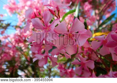 Oleander Blossom. Branch With Pink Flowers Of Oleander Tree.
