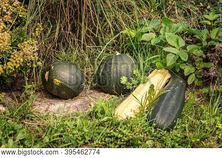 The Pumpkins And Squashes On The Grass