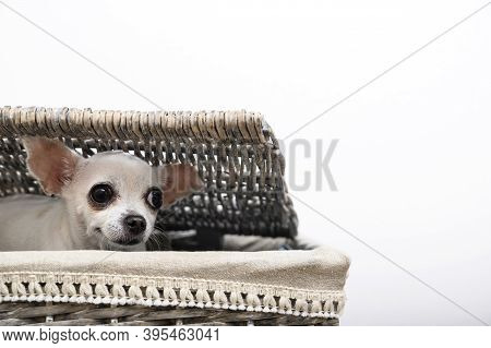 A Chihuahua Dog Sits In A Laundry Basket And Smiles Peeking Out From Under The Basket's Wicker Lid.
