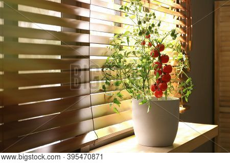 Tomato Plant In Pot On Window Sill Indoors