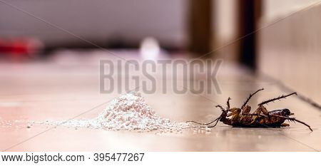 Dead Cockroach With Poison Powder. American Cockroach, Indoors. Pest Control Concept