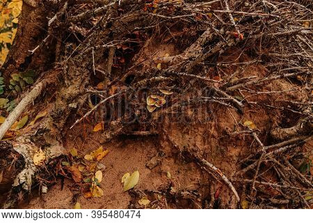 Forest Background Photo. Messy Tree Roots And Thin Dry Decrepit Tree Branches On A Brown Clay Soil