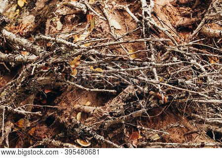 Messy Tree Roots And Branches On A Sand Soil With Yellow Autumn Season Leaves Forest Background.