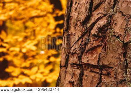 Tree Bark Scratched With Knife In Autumn Forest.