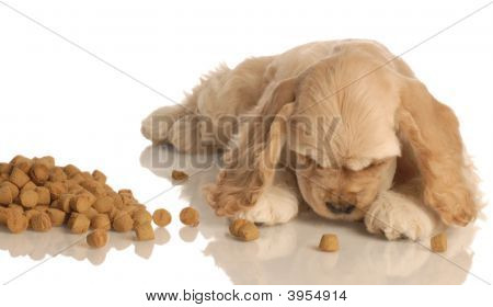Cocker Spaniel Puppy Eating Food