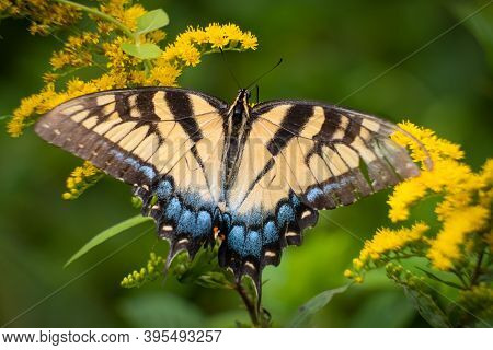 The Eastern Tiger Swallowtail (papilio Glaucus), North Carolina's State Butterfly. Top View, On Gold