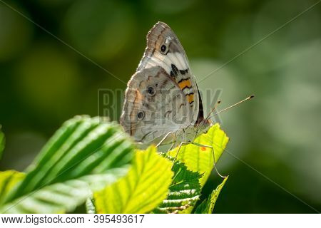 A Profile View Of A Common Buckeye Butterfly (junonia Coenia). Raleigh, North Carolina.