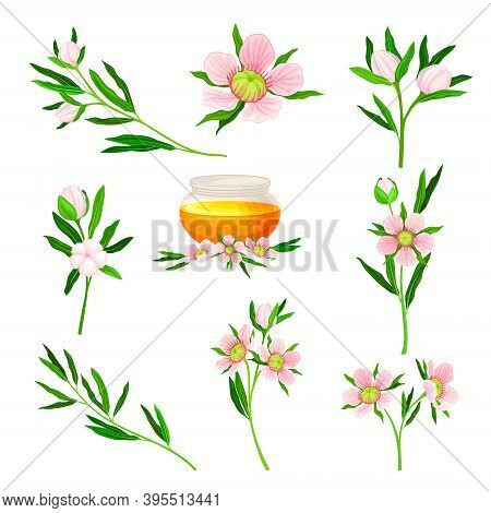 Manuka Or Tea Tree As Flowering Plant With Pink Flowers And Honey In Glass Jar Vector Set