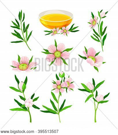 Manuka Or Tea Tree As Flowering Plant With Pink Flowers And Honey In Glass Bowl Vector Set